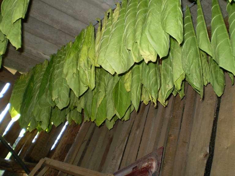 или как правильно сушить листья табака ускорить работу