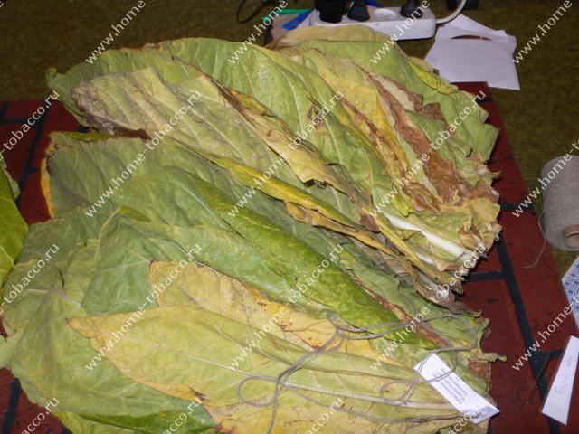 Курительный табак выращивание в домашних условиях и заготовка 28