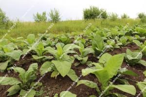 табак в поле 16 Июня