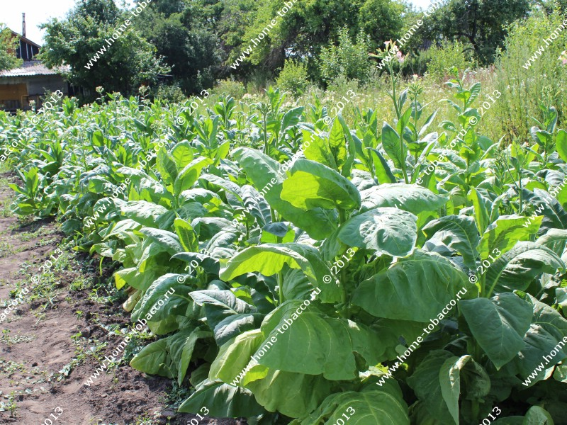 Технология выращивания табака на огороде 53