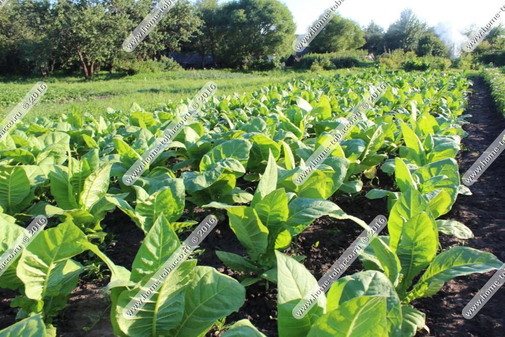 Курительный табак выращивание в домашних условиях и заготовка 31