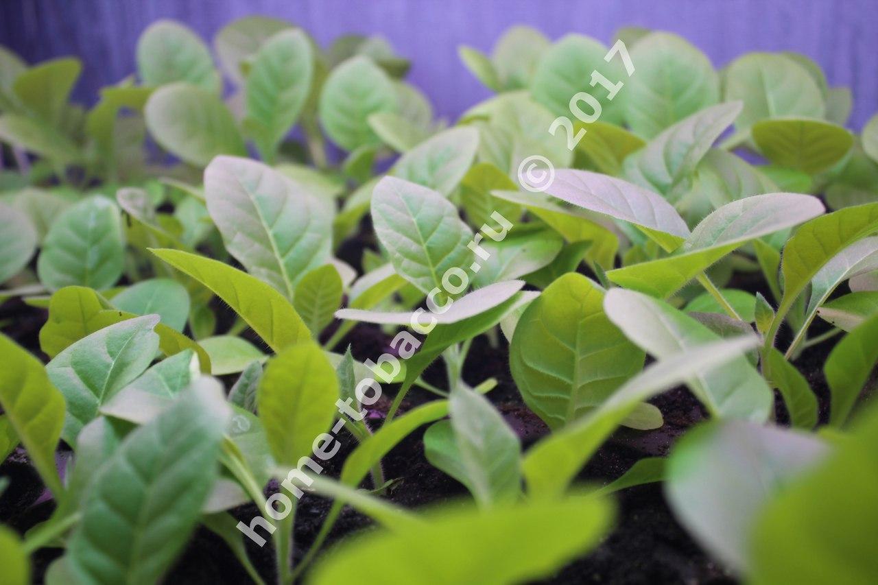 Выращиваем табак 70