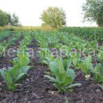 Фото плантации табака от 23 Июня.